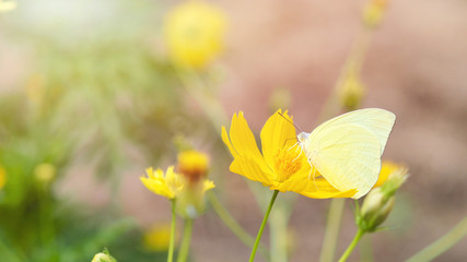 Butterfly with beautiful flowers from the cosmos.