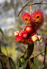 An Australian Christmas, gum nut blossoms and gum nuts with a red Christmas bauble, vertical