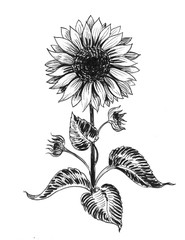 Ink black and white illustration of a sunflower plant
