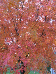 A maple tree showing its fall colors