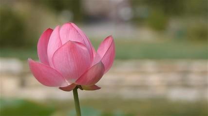 Search photos nelumbo nucifera 009 blooming nelumbo nucifera lotus flower close up mightylinksfo