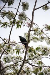 New Zealand Tui bird in a tree