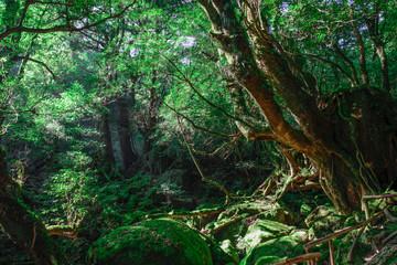 屋久島 コケの森