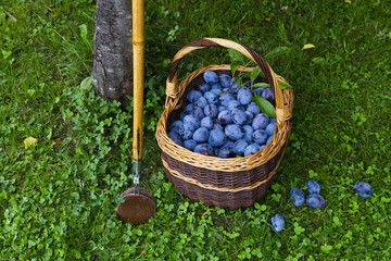 Freshly harvested delicious and juicy plums in a brown basket resting on the grass besides a plum tree and a wooden harvesting stick in an orchard