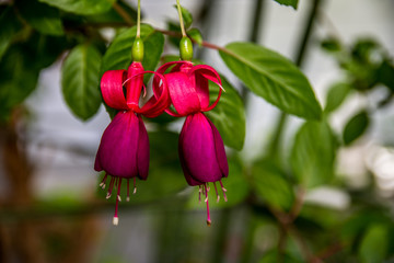 Violet and red Fuchsia on a garden