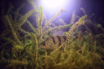 river perch underwater photo / underwater landscape, freshwater ecosystem with fish perch