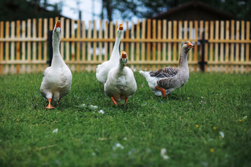 Geese and sheep on a farm