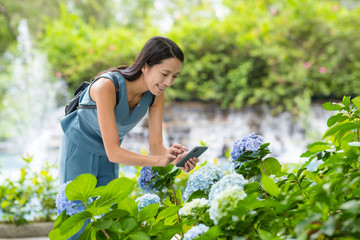 Woman taking photo with cellphone on Hydrangea garden