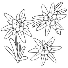 Edelweiss flowers. Black and white coloring book page