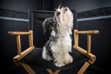 Biewer dog portrait in studio
