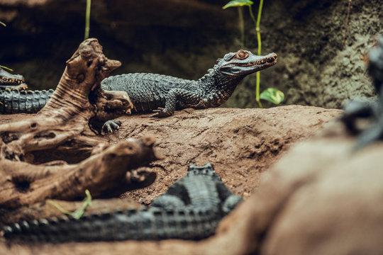 Small crocodiles on stone in zoo