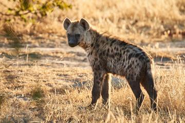 Joven hiena en Botsuana Wall mural