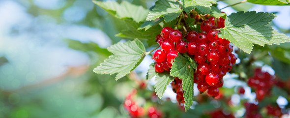 Red currants in the summer garden. Garden background.