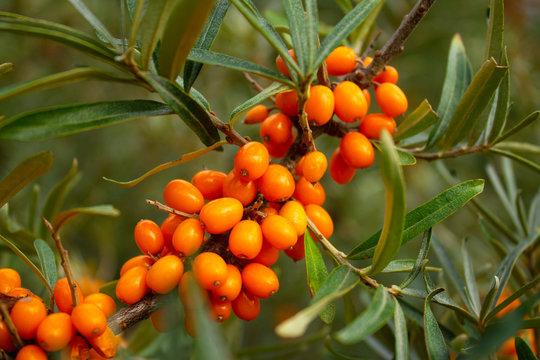 ripe sea buckthorn berries on a branch