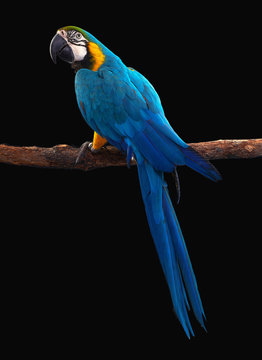 Macaw Parrot bird isolated on black