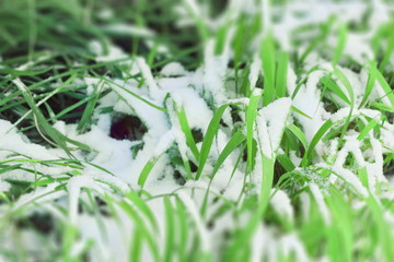 snow on the green grass of early winter