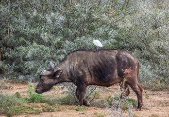 A bird catches a ride on the back of a cape buffalo in the African bush image with copy space in landscape format