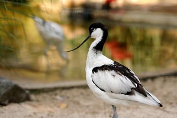 Portrait of Pied Avocet (Recurvirostra avosetta) black and white waterbird