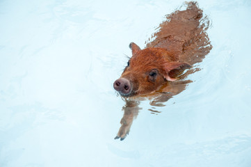 Cute little red piglet duroc breed floating in blue water of frame pool. New Year 2019 Yellow pigs. Concept of healthy lifestyle in nature, love of peace, vegetarian, vegan style, respect for nature