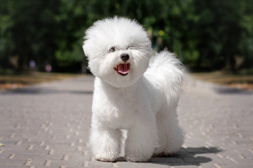 Search photos bichon