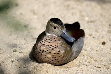 Full body of adult female ringed teal duck (Callonetta leucophrys)