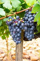 Fototapete - French red and rose wine grapes plant, first new harvest of wine grape in France, Costieres de Nimes AOP domain or chateau vineyard close up