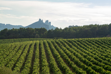 French red  AOC wine grapes plant, new harvest of wine grape in France, Vaucluse, Gigondas domain or chateau vineyard Dentelles de Montmirail