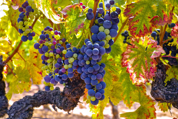 French red and rose wine grapes plant, growing on ochre mineral soil, new harvest of wine grape in France, Vaucluse Luberon AOP domain or chateau vineyard close up Fototapete