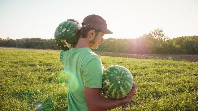Young farmer harvesting watermelon crop at field of organic farm.