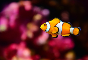 Clown fish or anemone fish at underwater