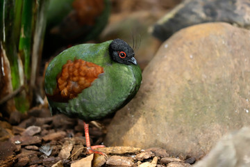 Full body of small female crested partridge is a resident breeder in lowland rainforests