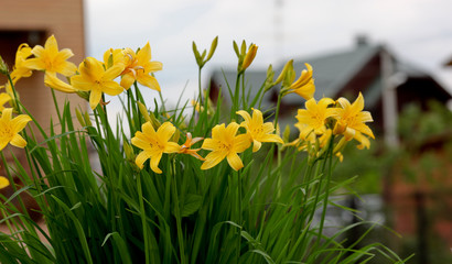 Foto op Canvas Narcis Flowering lily in the garden in the summer. Natural blurred background.