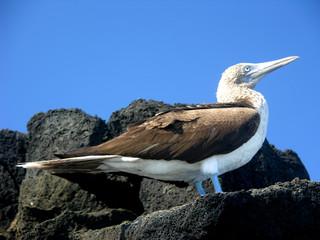 Piqueros pata azul, Galapagos