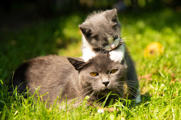 Cat with the baby kitten on grass