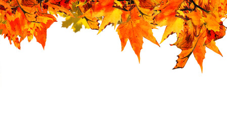 autumn background with orange maple leaves
