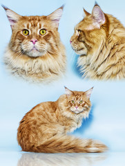 Maine Coon cat on a blue background