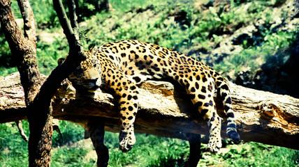 Leopard schläft auf Baumstamm