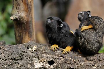 Family of the red-handed midas tamarin monkeys, New World monkey