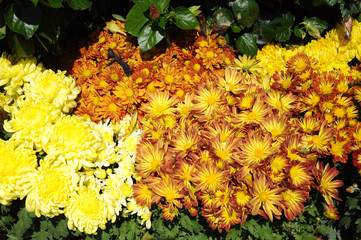 Various species of chrysanthemum flowers planted and grows in the Royal Floria Garden in Putrajaya, Malaysia.