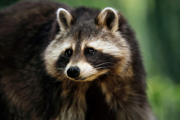 Portrait of adult male lotor common raccoon (procyon lotor)