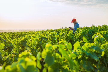 A french winegrower in his vines at sunset