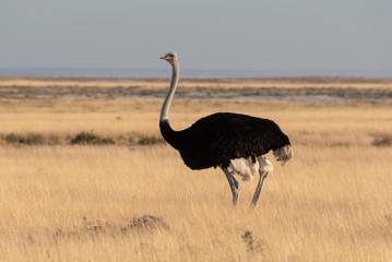 Zelfklevend Fotobehang Struisvogel Single large black male ostrich standing in evening lit sunlight yellow glowing grass, Etosha National Park, Namibia