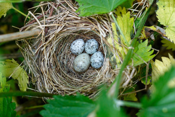 Acrocephalus palustris. The nest of the Marsh Warbler in nature. Common Cuckoo (Cuculus canorus) egg