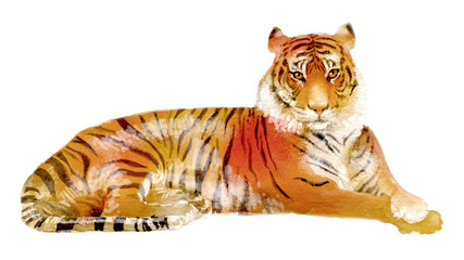 watercolor illustration of a tiger, isolated drawing from the hand of a wild animal of Africa