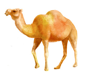 watercolor illustration of a camel, isolated drawing from the hand of a desert animal