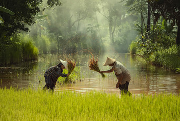 Asia farmer transplanted rice seedlings to be sent for planting in rice field
