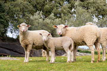 Zelfklevend Fotobehang Schapen Group of adult sheep and lamb staring in pasture with holm oaks.