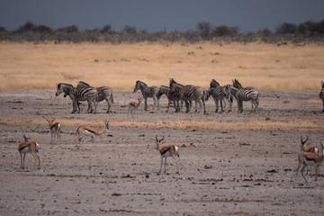 Zebra in Etosha National Park, Nambia