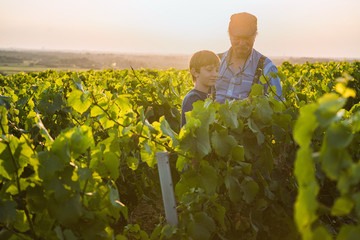 Two generations of winegrowers in their vines at sunset.