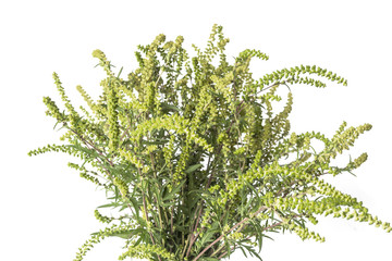 A ragweed plant isolated on white background.